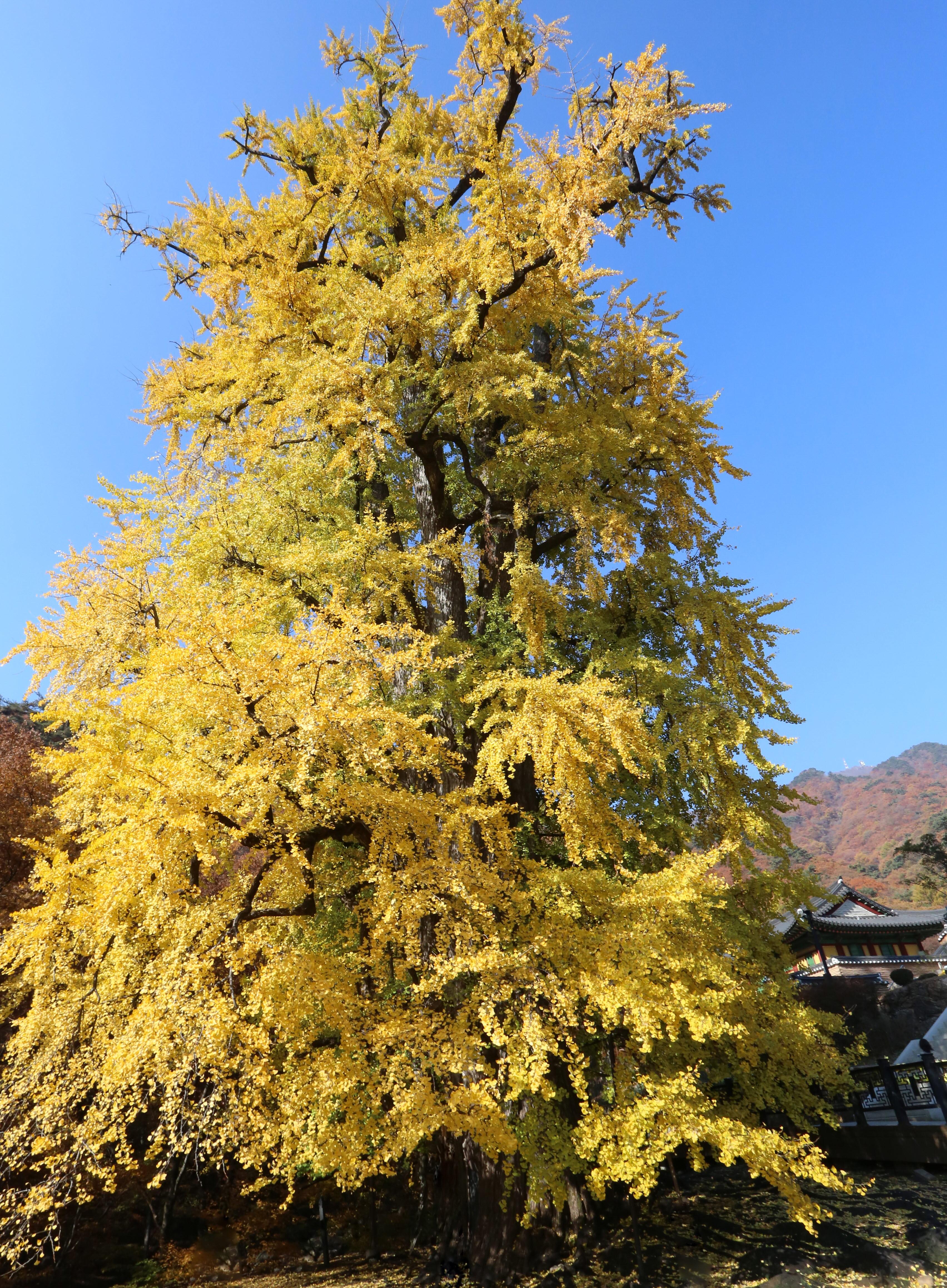 사본 -은행나무-가을.jpg